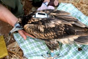 L'avvoltoio Arianna con radio