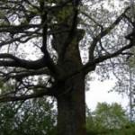 quercia-abbattuta-fardella