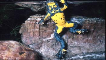 ululone-dal-ventre-giallo