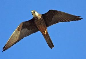 falco-eleonorae