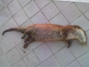lontra rivenuta morta [foto Enzo Armenante]
