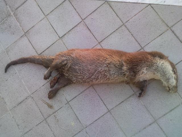 esemplare di lontra rinvenuto morto nella Valle del Sele