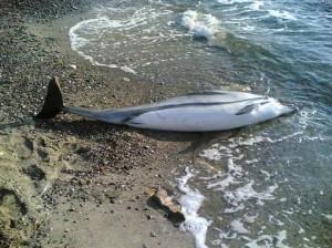 delfino-spiaggiato