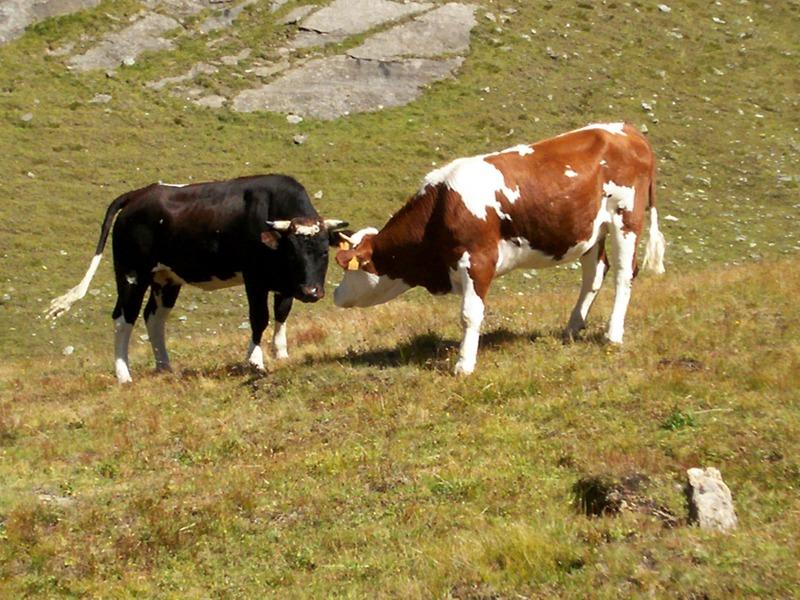 mucche-al-pascolo