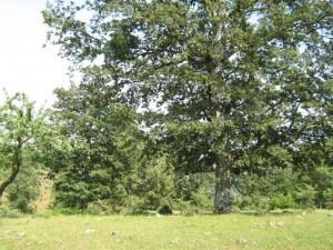 cotronei-querce-secolari-1