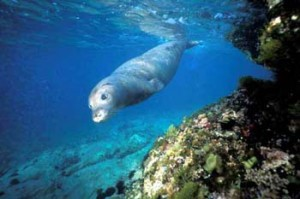 foca-monaca