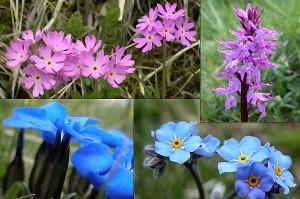 fiori-gran-paradiso