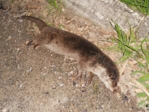 L'esemplare di lontra morta rinvenuto a Pisticci - Elena Camerlingo, Vincenzo Marino e Antonietta Marino