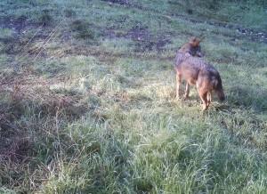 lupo-nellalta-murgia