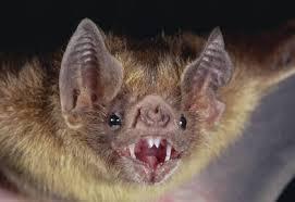 pipistrello1