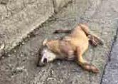 lupo ferito