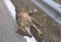 lupo morto vaglio_Pagina_4